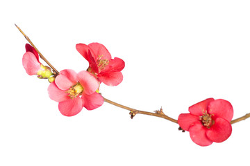 Japanese Quince,Chaenomeles japonica. Isolated on white.