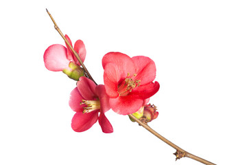 Japanese Quince, Chaenomeles japonim, in bloom, on white.