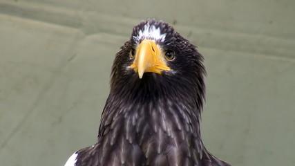 Close up of stellers sea eagle head