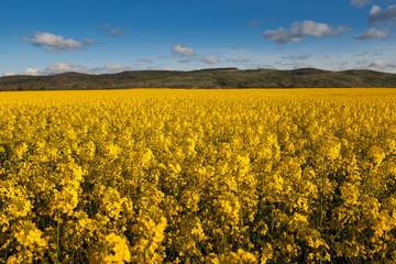 Fields colza.