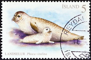 Harbor seals (Iceland 2010)