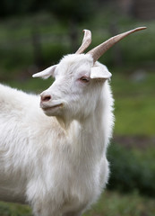White goat. Symbol of the new year on the eastern calendar