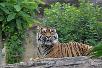 スマトラトラ -Sumatran Tiger-