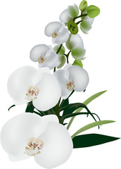 isolated white large orchid flowers