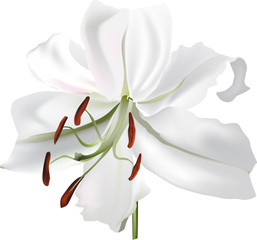 single isolated white lily bloom