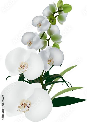 Naklejka isolated white large orchid flowers