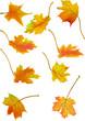 illustration with nine autumn maple leaves