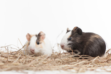 Two small hamsters on white isolated background.