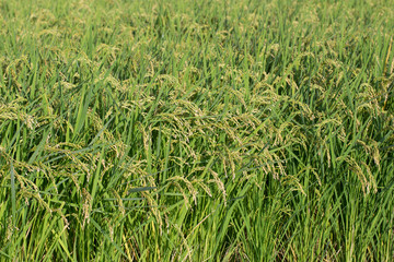 Oryza sativa(Rice)