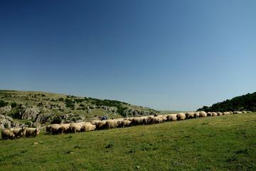 Flock in Dobrogea
