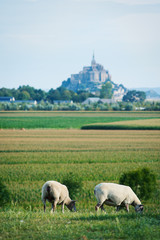 Sheeps and Mont Saint Michel ancient village in the background.