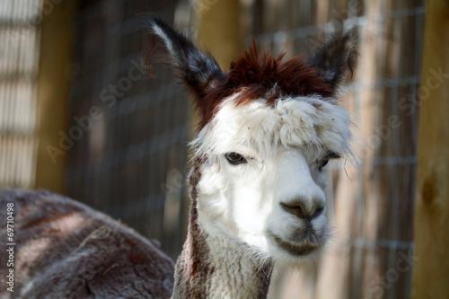 Aluminium Lama Alpaca portrait
