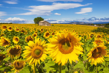 Beautiful landscape with sunflower field