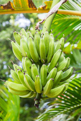 Green Bananas Growing in Tree
