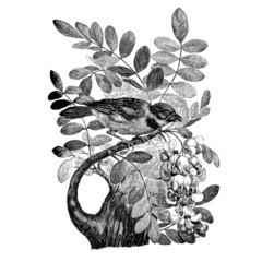 Le moineau Friquet