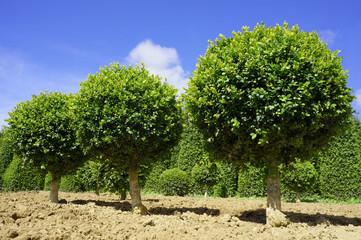 Buchbaum in Form von Bäumchen in der Gärtnerei