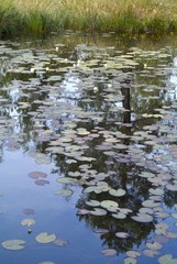 water lily leaves on a lake