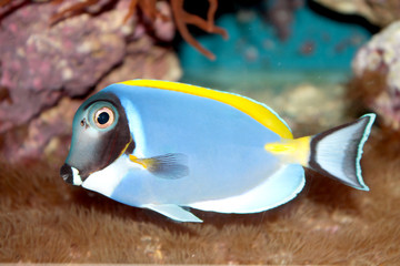 Powder Blue Tang (Acanthurus leucosternon) marine tropical fish