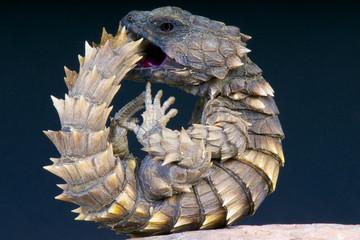 Armadillo girdled lizard / Cordylus cataphractus