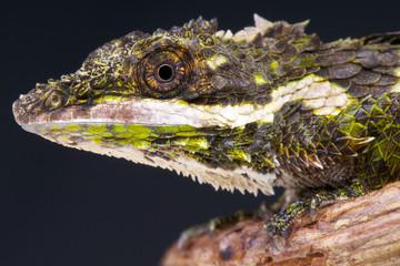 Pygmy lizard / Cophotis ceylanica