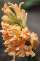 гиацинт оранж