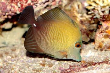 Brown tang (Zebrasoma scopas) marine tropical fish