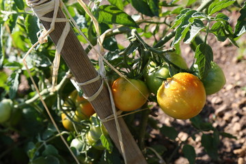 Tomatoes with yellow-pink cheeks hanging on the bush