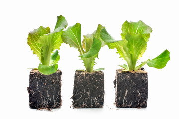 Lettuce seedlings isolated