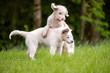 Spielende junge Hunde