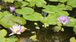 canvas print picture - fleur de nenuphar 23