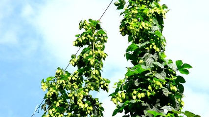 hop garden,zoom out,