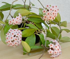 Blossoming hoya fleshy, or an ivy wax (Hoya carnosa (L.f. ) R.Br