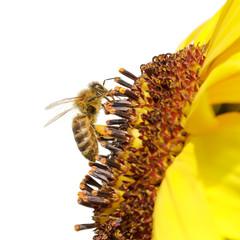 Honigbiene (Apis mellifera)