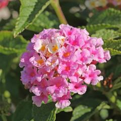 goutte de rosée sur une fleur de lantana