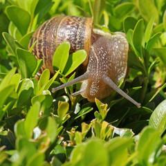 escargot sur du buis