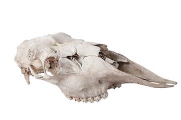 old skull moose isolated on white background