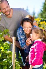 Familie pflückt Brombeeren im Garten
