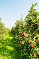 Path between modern low apple trees