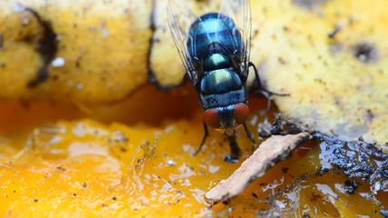 Blow flies eating mango syrup. HD