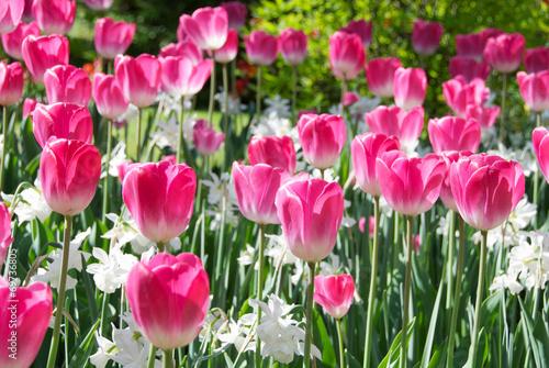canvas print picture Tulipani rosa e bianchi