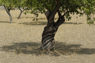Mallorca, Olivenbaum mit altem verdrehtem Stamm