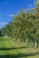 Crabapple trees in a Fruit Orchard