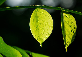 Translucent leaf with water drops