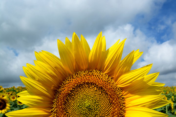 Rise of the Sunflower