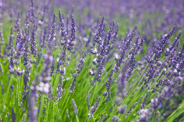 The field of blossom lavender