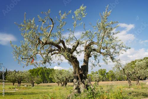 Tuinposter Olijfboom The old olive tree against blue sky
