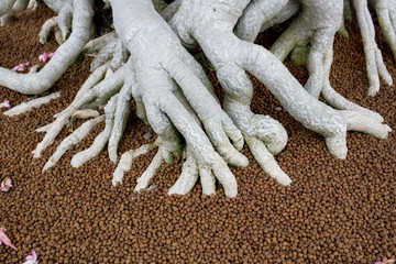 The big roots in fertiliser of Bonsai tree