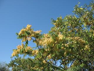 Цветущее дерево на фоне голубого неба
