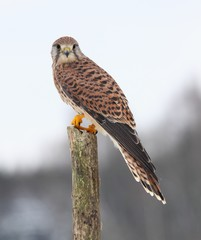 Common kestrel  in winter
