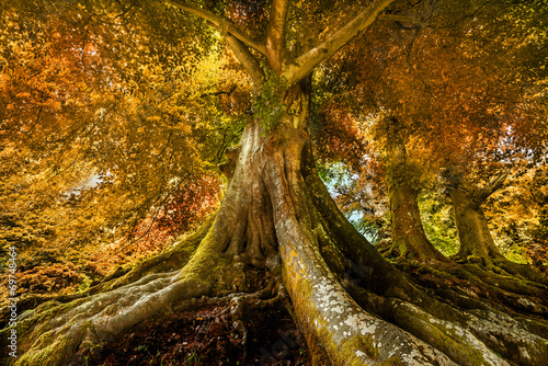canvas print picture big old tree in autumn time